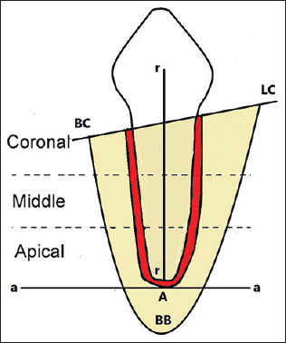 Figure 2: Diagram of landmarks used for histomorphometric measurements. LC:Lingual crest of tooth; BC:Buccal crest of tooth; r-r:Rooth length; BB:Thickness of the base of the mandible, a-a:Apical limit of alveolar process; A:Apical limit of periodontal ligament.
